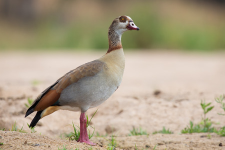 webbed legs: Egyptian goose walking along a sandy bank of a river Stock Photo