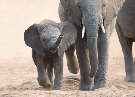 the water hole: Elephant calf and mother charge towards a water hole