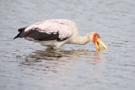 the water hole: Yellow billed stork fishing for food in a water hole