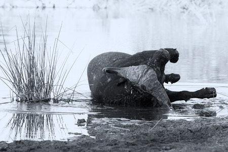 cool down: Tired Cape buffalo bull rolling in a water pond to cool down artistic conversion Stock Photo