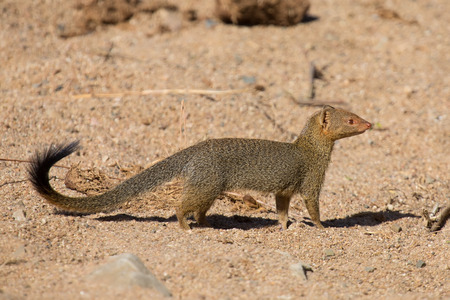 mongoose: Slender mongoose forage and look for food among rocks