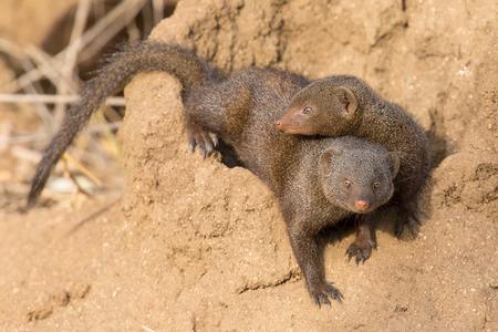 burrow: Dwarf mongoose family enjoy the safety of their burrow