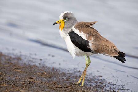 lapwing: White crowned lapwing forage for insects along the shore of a lake