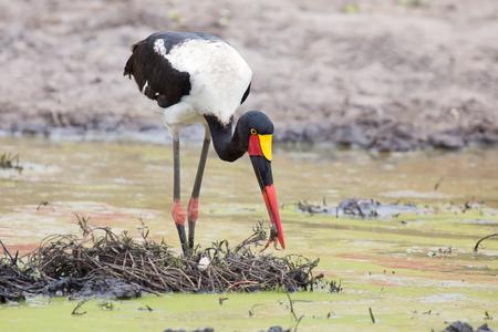billed: Saddle billed stork hunting for frogs in a pond