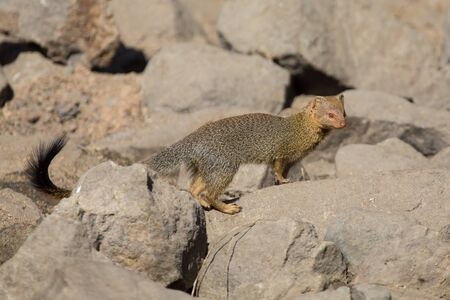 Slender mongoose forage and look for food among rocks