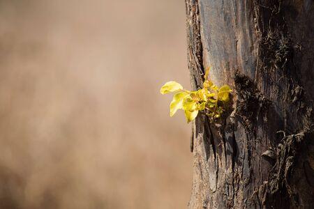 hojas antiguas: Nuevas hojas verdes que crecen de un viejo tronco de árbol Foto de archivo