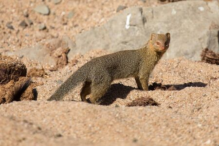 opportunist: Slender mongoose forage and look for food among rocks