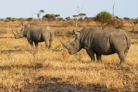 poach: Two rhino standing on a open area looking for safety from poachers Stock Photo