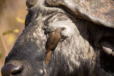 oxpecker: Cape buffalo with a red-billed ox-pecker looking for insects