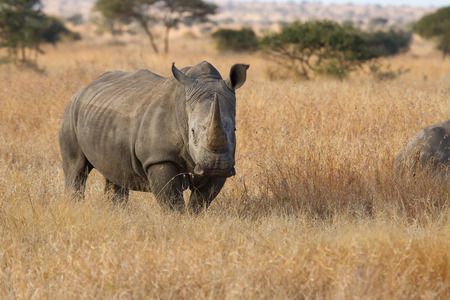 aphrodisiac: Lone rhino standing on a open area looking for safety from poachers