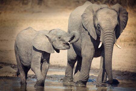 famille africaine: Elephant veau l'eau potable sur un jour sec et chaud