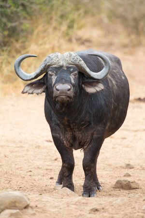 Cape buffalo standing in the open and search for possible danger Stock Photo