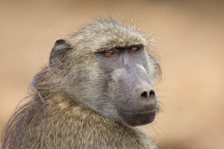 Close-up portrait of a Chacma baboon head staring into the distance