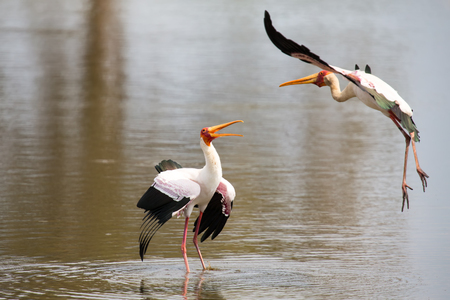 domination: Two Yellow billed storks fight for domination of territory at a dam