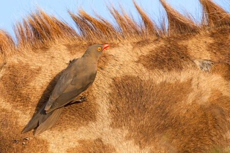 oxpecker: Red billed ox-pecker sitting on a giraffe neck hinting for some insects Stock Photo
