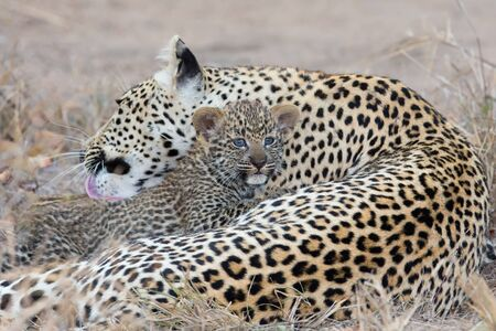 dangerous love: Leopard mother cares for her cub in the gathering darkness Stock Photo