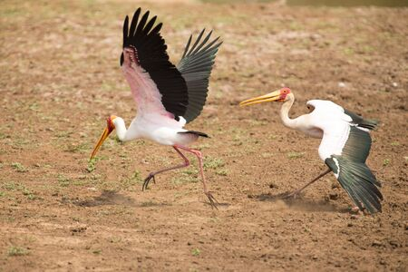 dominacion: Dos Amarillo facturados cig�e�as luchan por el dominio del territorio en una presa