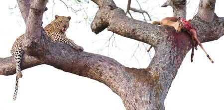 eaten: Leopard resting in a large tree with his kill half eaten Stock Photo