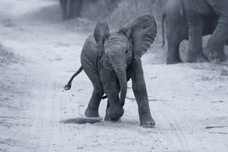 playful behaviour: Young elephant play on a road while family feed nearby artistic conversion