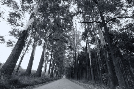 eucalyptus trees: Narrow lane of eucalyptus trees on a dirt road artistic conversion