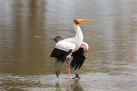 dominacion: Two Yellow billed storks fight for domination of territory at a dam