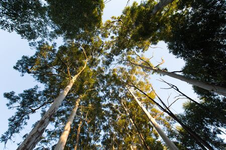 eucalyptus trees: Looking up among very high eucalyptus trees with green leaves