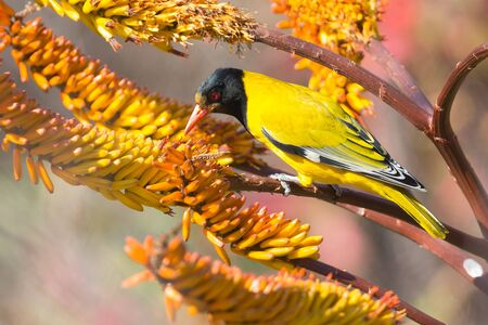 oriole: Black-headed oriole sitting on yellow aloe to catch bees.
