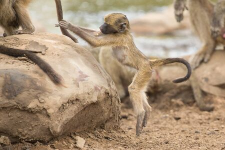 playful behaviour: Playful and young baboon looking for trouble in nature rock