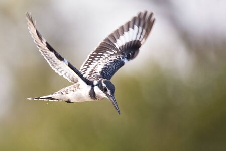 hover: Pied kingfisher hover in flight to catch a fish
