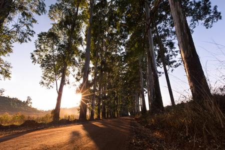 eucalyptus trees: Narrow lane of eucalyptus trees with dust on a dirt road