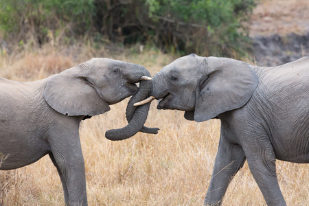 Two elephant greet affectionate with curling and touching trunks Imagens