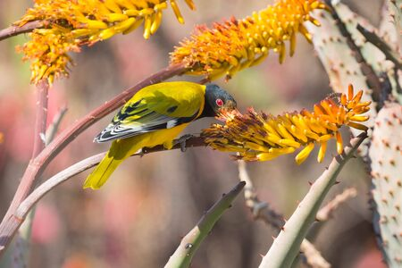 natue: Black-headed oriole sitting on yellow aloe to catch bees.