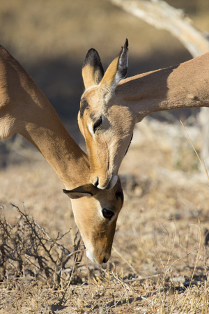 head profile: Impala doe nibble the ear of her mother to strengthen family bond Stock Photo