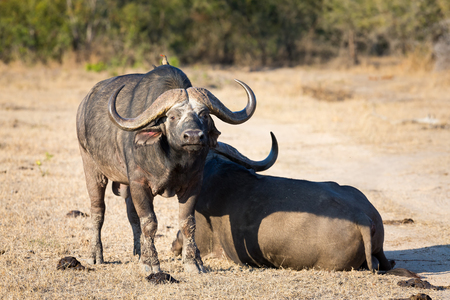 lay down: Two tired Cape buffalo lay down on brown grass rest Stock Photo