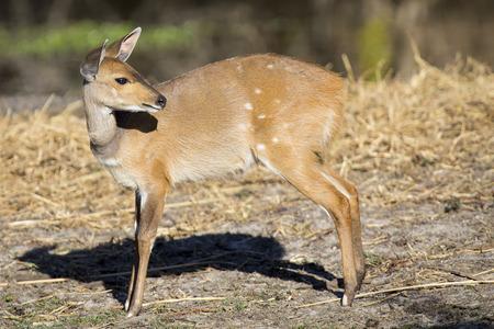 deer spot: Bushbuck doe walking along the edge of a pond eating grass