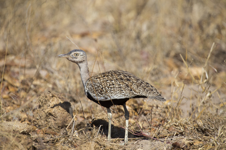 camouflaged: A red crested korhaan walking among dry grasses and is camouflaged
