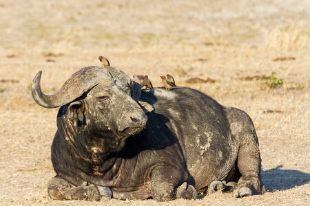 cool down: Tired Cape buffalo bull rolling in water pond to cool down