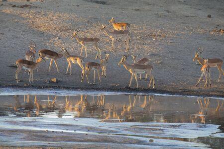 tomando agua: Gran manada impala agua potable en un estanque en el final de la tarde Foto de archivo