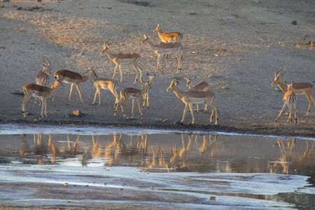 social drinking: Large impala herd drinking water at a pond in the late afternoon Stock Photo