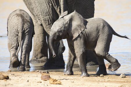river trunk: Breeding herd of elephant drinking water at a small pond