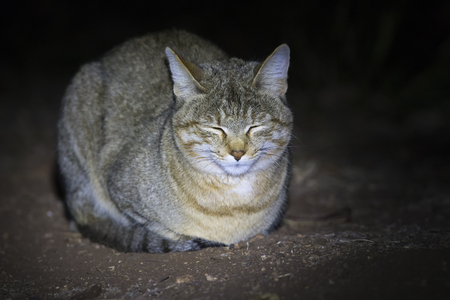 African wild cat lying on the ground in a spotlight Imagens