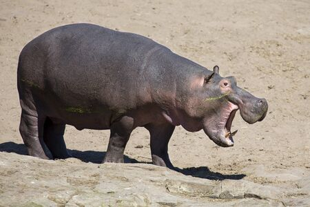 grazer: Large hippo bull walking on the bank of a river Stock Photo