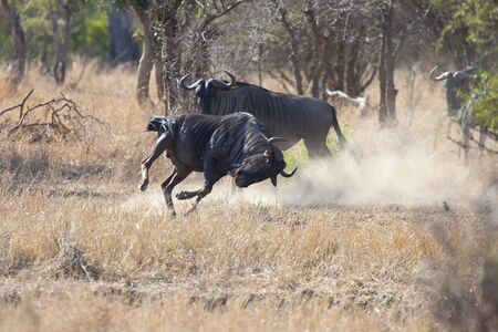 taurinus: Two blue wildebeest bulls fight for dominance over the herd Stock Photo