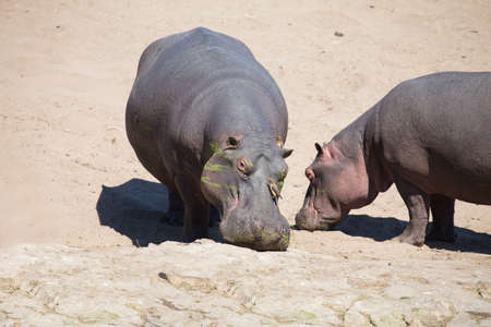 ugliness: Large hippo bull walking on the bank of a river Stock Photo