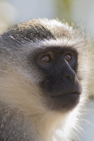 omnivore animal: Vervet monkey portrait close up with detail on his long facial hair