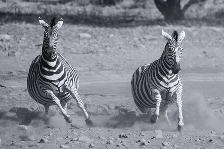 fleeing: Herd of zebra fleeing from danger at a dusty waterhole artistic conversion Stock Photo