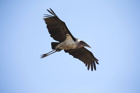 wing span: Marabou stork fly and glide in the blue sky