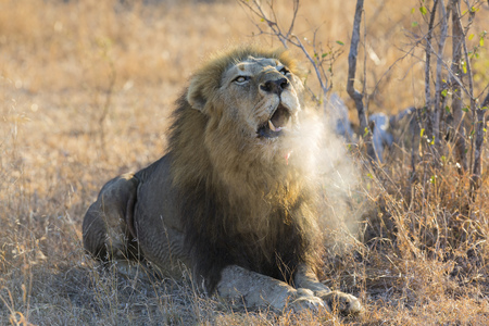 Large male lion roar in the early morning with steam on his mouth Stock Photo