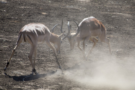 rival rivals rivalry season: Two impala male fight on dusty and dry sand