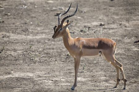 oxpecker: Impala ram with oxpeckers on his face cleaning away parasites Stock Photo
